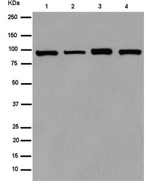 Western blot - Anti-CRTAM antibody [EPR15292] (ab183708)
