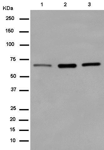 Western blot - Anti-CoREST antibody [EPR13825] (ab183711)