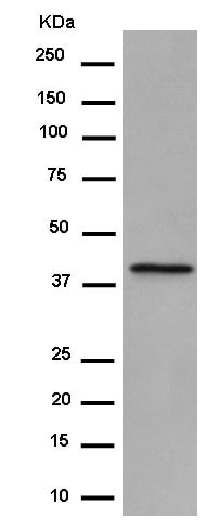 Western blot - Anti-PON2 antibody [EPR15295-58] (ab183718)