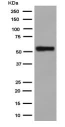 Western blot - Anti-Nova1 antibody [EPR13848] - C-terminal (ab183723)