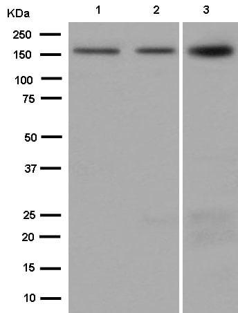 Western blot - Anti-Drosha antibody [EPR12794] (ab183732)