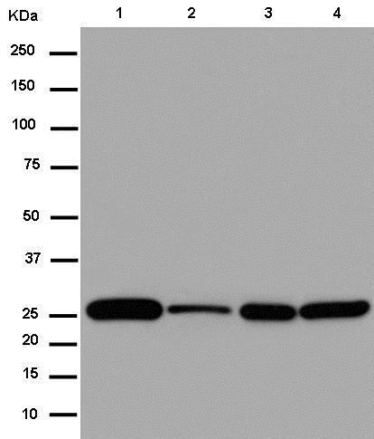 Western blot - Anti-NDUFS3 antibody [EPR12781] (ab183733)