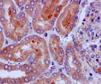 Immunohistochemistry (Formalin/PFA-fixed paraffin-embedded sections) - Anti-BIG1 antibody [EPR10046(2)] (ab183747)