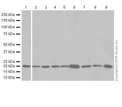Western blot - Anti-Ferritin Heavy Chain antibody [EPR18878] (ab183781)