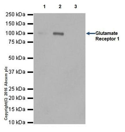 Immunoprecipitation - Anti-Glutamate Receptor 1 (AMPA subtype) antibody [EPR19522] (ab183797)