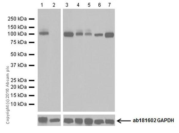 Western blot - Anti-Glutamate Receptor 1 (AMPA subtype) antibody [EPR19522] (ab183797)