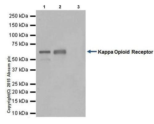 Immunoprecipitation - Anti-Kappa Opioid Receptor antibody [EPR18881] (ab183825)