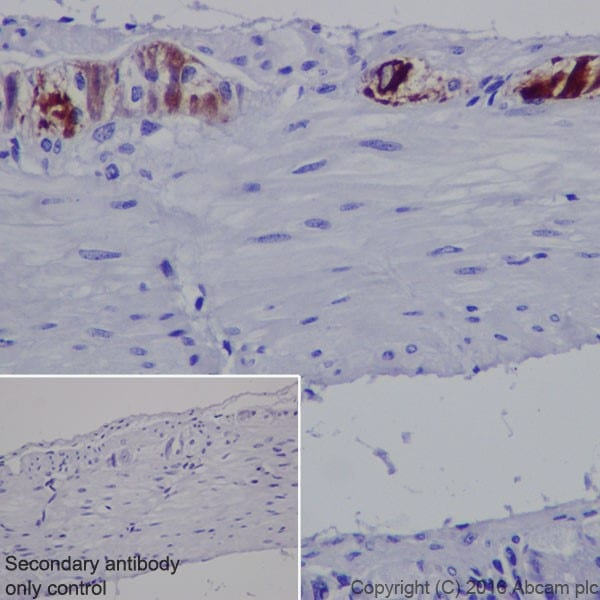 Immunohistochemistry (Formalin/PFA-fixed paraffin-embedded sections) - Anti-MAP2 antibody [EPR19691] (ab183830)