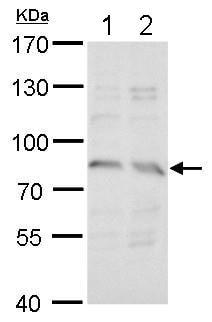 Western blot - Anti-SYN5 antibody (ab183844)