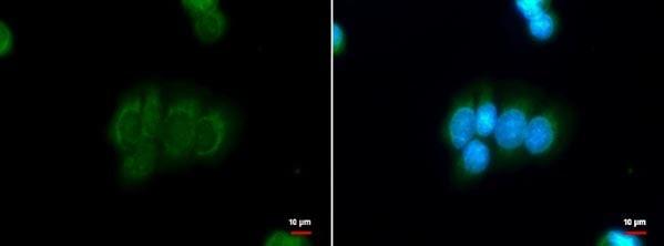 Immunocytochemistry/ Immunofluorescence - Anti-DBC1 antibody - N-terminal (ab183850)