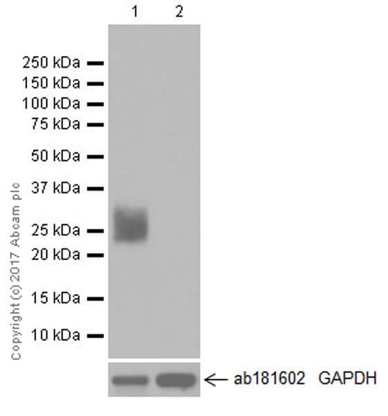 Western blot - Anti-Myelin Protein Zero antibody [EPR20383] (ab183868)