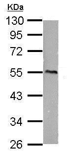 Western blot - Anti-CaMKI gamma antibody (ab183874)
