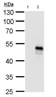 Western blot - Anti-OP-2 antibody (ab183879)