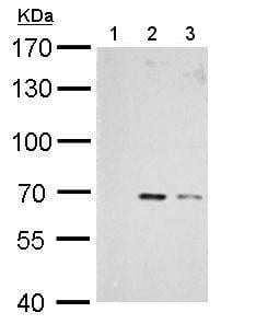 Western blot - Anti-Chk2 (phospho T68) antibody (ab183895)