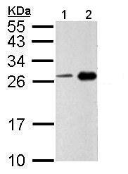 Western blot - Anti-TNF alpha antibody (ab183896)