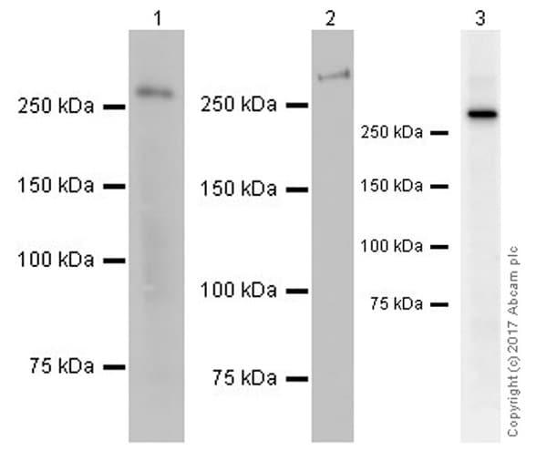 Western blot - Anti-NG2 antibody [EPR20244] (ab183929)