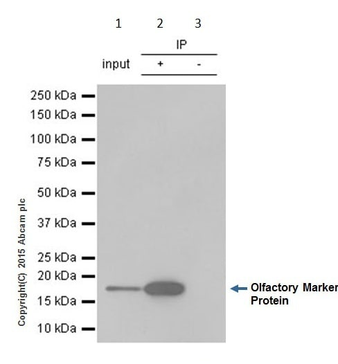 Immunoprecipitation - Anti-Olfactory Marker Protein/OMP antibody [EPR19190] (ab183947)