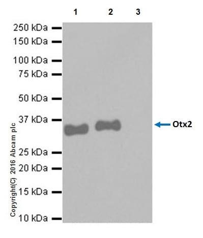 Immunoprecipitation - Anti-Otx2 antibody [EPR20375] (ab183951)