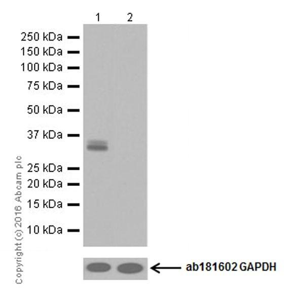 Western blot - Anti-Otx2 antibody [EPR20375] (ab183951)