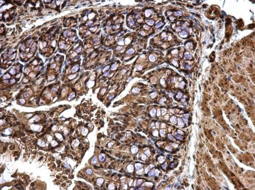 Immunohistochemistry (Formalin/PFA-fixed paraffin-embedded sections) - Anti-CPSF6 antibody (ab184005)
