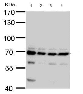 Western blot - Anti-CPSF6 antibody (ab184005)