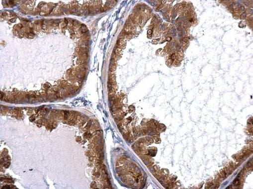 Immunohistochemistry (Formalin/PFA-fixed paraffin-embedded sections) - Anti-STAU2 antibody (ab184009)