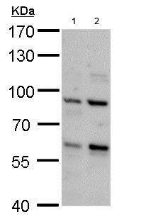 Western blot - Anti-PCTAIRE2 antibody (ab184010)