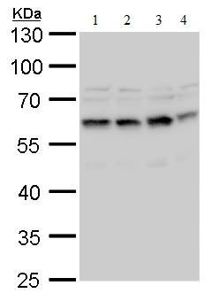 Western blot - Anti-STCH antibody (ab184129)
