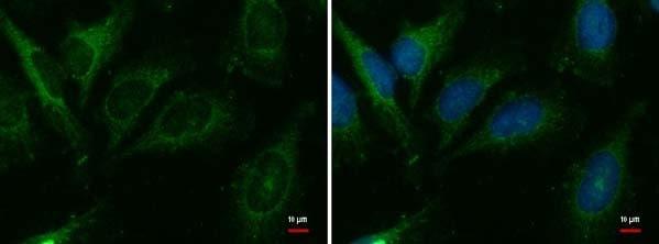 Immunocytochemistry/ Immunofluorescence - Anti-Cer1 antibody (ab184133)