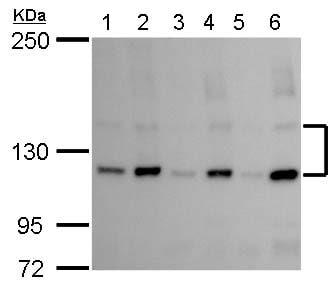 Western blot - Anti-eNOS (phospho S1177) antibody (ab184154)