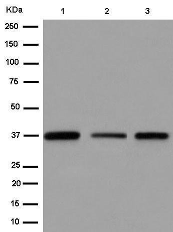 Western blot - Anti-TCEA1 antibody [EPR15036] (ab184158)