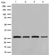 Western blot - Anti-Peroxiredoxin 4 antibody [EPR15458(B)] (ab184167)