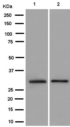 Western blot - Anti-TPGS1 antibody [EPR14324] (ab184178)