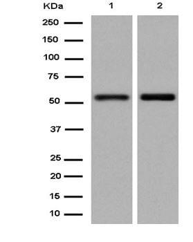 Western blot - Anti-KLF10 antibody [EPR12102(2)] (ab184182)