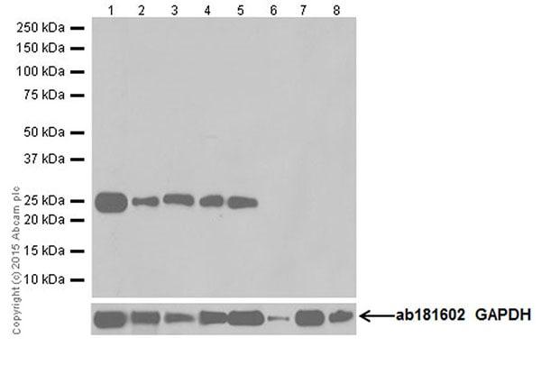 Western blot - Anti-CRF antibody [EPR19154] (ab184238)