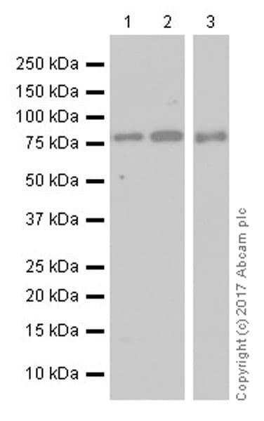 Western blot - Anti-TORC2 antibody [EPR20219] (ab184239)