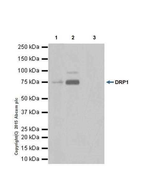 Immunoprecipitation - Anti-DRP1 antibody [EPR19274] (ab184247)