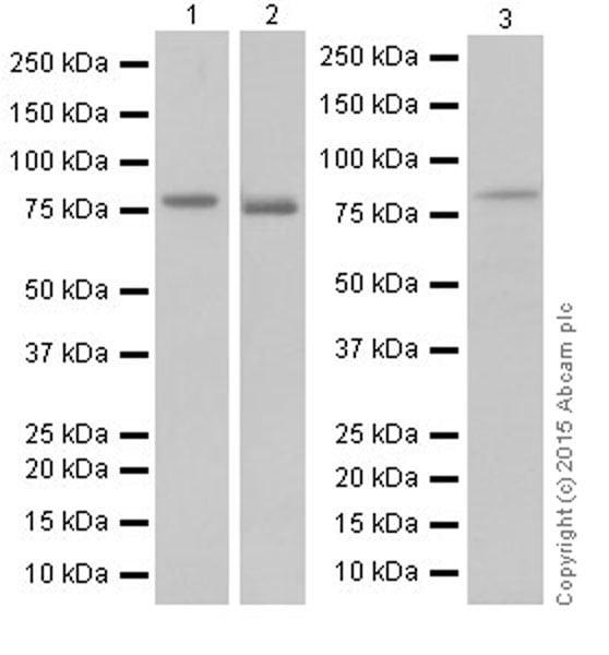 Western blot - Anti-DRP1 antibody [EPR19274] (ab184247)