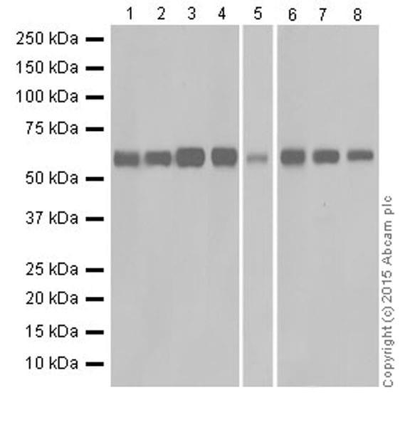 Western blot - Anti-PKR antibody [EPR19374] (ab184257)