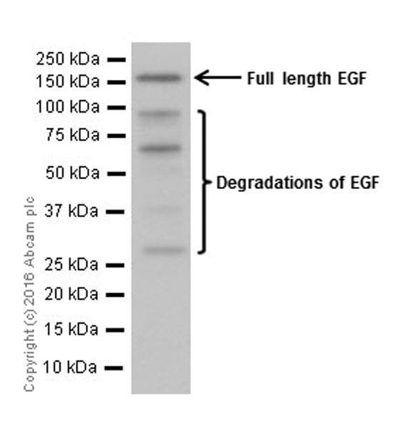 Western blot - Anti-EGF antibody [EPR19173] (ab184265)