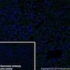 Immunohistochemistry (Frozen sections) - Anti-EGF antibody [EPR19174] (ab184266)