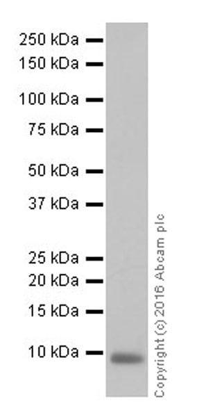 Western blot - Anti-EGF antibody [EPR19174] (ab184266)