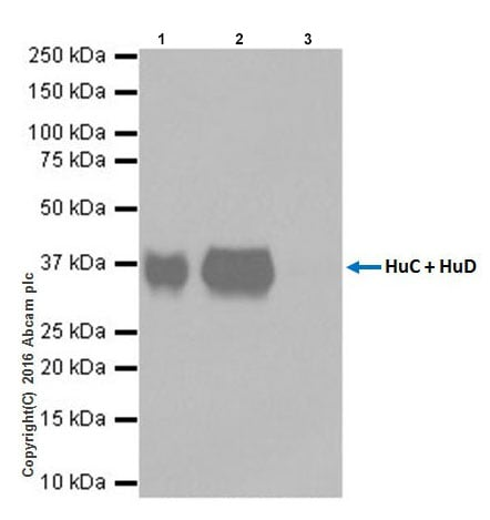 Immunoprecipitation - Anti-HuD + HuC antibody [EPR19098] (ab184267)