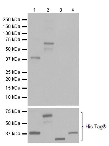 Western blot - Anti-HuD + HuC antibody [EPR19098] (ab184267)
