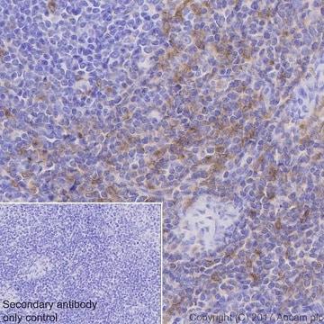 Immunohistochemistry (Formalin/PFA-fixed paraffin-embedded sections) - Anti-Fyn antibody [EPR19636] (ab184276)