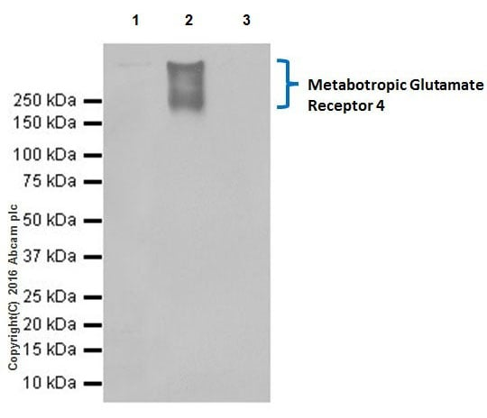 Immunoprecipitation - Anti-Metabotropic Glutamate Receptor 4/MGLUR4 antibody [EPR19280] (ab184302)