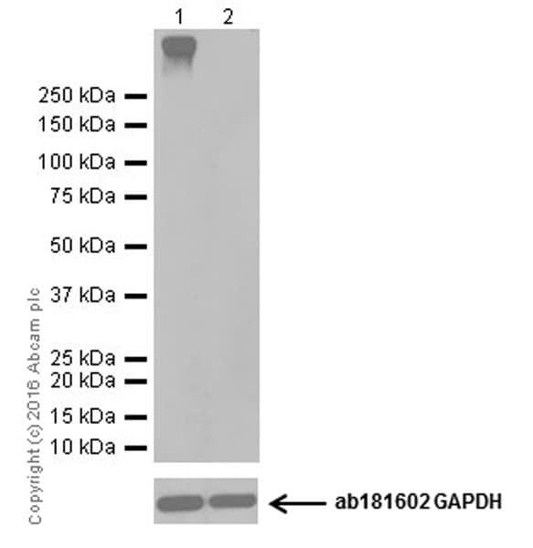 Western blot - Anti-Metabotropic Glutamate Receptor 4/MGLUR4 antibody [EPR19280] (ab184302)