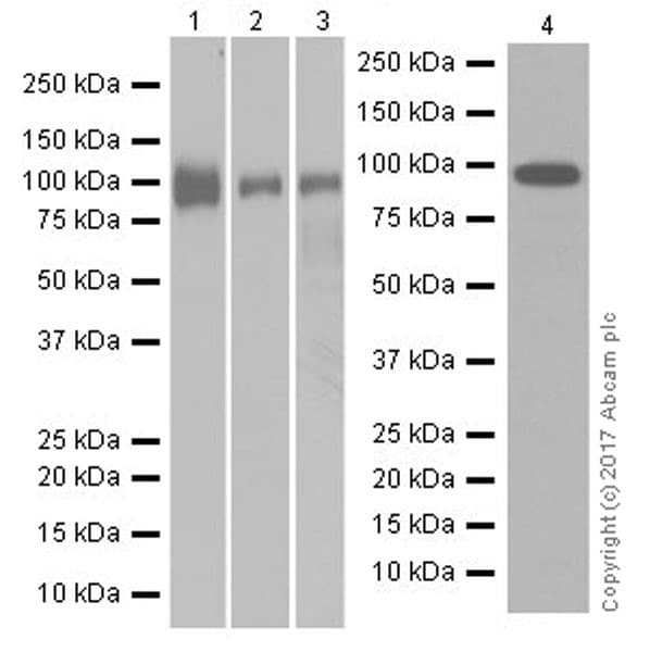 Western blot - Anti-Integrin beta 5 antibody [EPR19170] (ab184312)