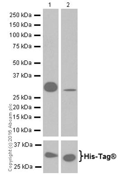 Western blot - Anti-Laminin alpha 5/LAMA5 antibody [EPR18919] (ab184330)