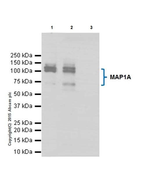 Immunoprecipitation - Anti-MAP1A antibody [EPR18993] (ab184349)